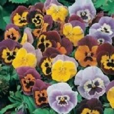 Pansy Joker Mixed  - 40 seeds